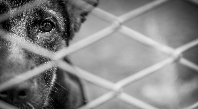 Certificate in Canine Handling & Understanding Communication Signals